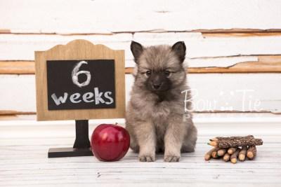 puppy29-week6-bowtiepomsky-com-bowtie-pomsky-puppy-for-sale-husky-pomeranian-mini-dog-spokane-wa-breeder-blue-eyes-pomskies-photo_fb-40