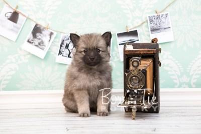 puppy29-week6-bowtiepomsky-com-bowtie-pomsky-puppy-for-sale-husky-pomeranian-mini-dog-spokane-wa-breeder-blue-eyes-pomskies-photo_fb-41