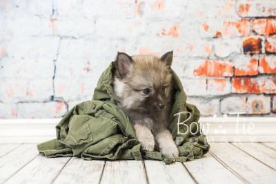 puppy29-week8-bowtiepomsky-com-bowtie-pomsky-puppy-for-sale-husky-pomeranian-mini-dog-spokane-wa-breeder-blue-eyes-pomskies-bowtie_pumsky_fb-0727