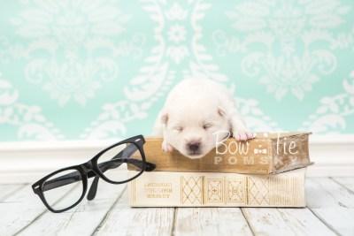 puppy30 week2 BowTiePomsky.com Bowtie Pomsky Puppy For Sale Husky Pomeranian Mini Dog Spokane WA Breeder Blue Eyes Pomskies photo-photo_fb-1