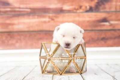 puppy30 week2 BowTiePomsky.com Bowtie Pomsky Puppy For Sale Husky Pomeranian Mini Dog Spokane WA Breeder Blue Eyes Pomskies photo-photo_fb-2