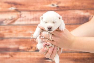 puppy30 week2 BowTiePomsky.com Bowtie Pomsky Puppy For Sale Husky Pomeranian Mini Dog Spokane WA Breeder Blue Eyes Pomskies photo-photo_fb-3