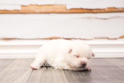 puppy30 week2 BowTiePomsky.com Bowtie Pomsky Puppy For Sale Husky Pomeranian Mini Dog Spokane WA Breeder Blue Eyes Pomskies photo-photo_fb-7