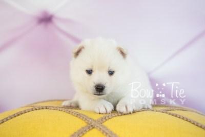 puppy30-week4-bowtiepomsky-com-bowtie-pomsky-puppy-for-sale-husky-pomeranian-mini-dog-spokane-wa-breeder-blue-eyes-pomskies-photo_fb-36