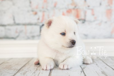puppy30-week4-bowtiepomsky-com-bowtie-pomsky-puppy-for-sale-husky-pomeranian-mini-dog-spokane-wa-breeder-blue-eyes-pomskies-photo_fb-38