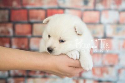 puppy30-week4-bowtiepomsky-com-bowtie-pomsky-puppy-for-sale-husky-pomeranian-mini-dog-spokane-wa-breeder-blue-eyes-pomskies-photo_fb-40