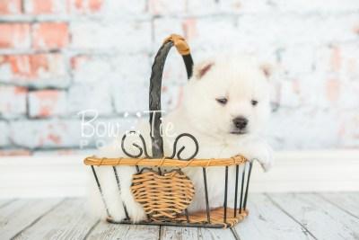 puppy30-week4-bowtiepomsky-com-bowtie-pomsky-puppy-for-sale-husky-pomeranian-mini-dog-spokane-wa-breeder-blue-eyes-pomskies-photo_fb-41