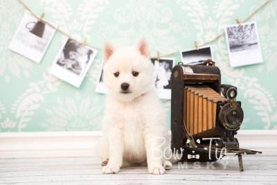 puppy30-week6-bowtiepomsky-com-bowtie-pomsky-puppy-for-sale-husky-pomeranian-mini-dog-spokane-wa-breeder-blue-eyes-pomskies-photo_fb-43