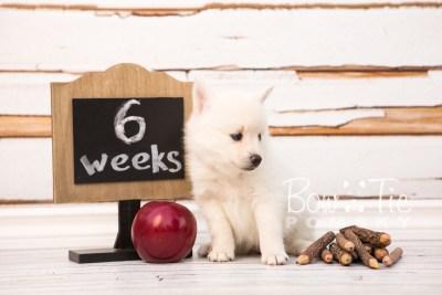 puppy30-week6-bowtiepomsky-com-bowtie-pomsky-puppy-for-sale-husky-pomeranian-mini-dog-spokane-wa-breeder-blue-eyes-pomskies-photo_fb-44