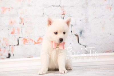 puppy30-week6-bowtiepomsky-com-bowtie-pomsky-puppy-for-sale-husky-pomeranian-mini-dog-spokane-wa-breeder-blue-eyes-pomskies-photo_fb-46
