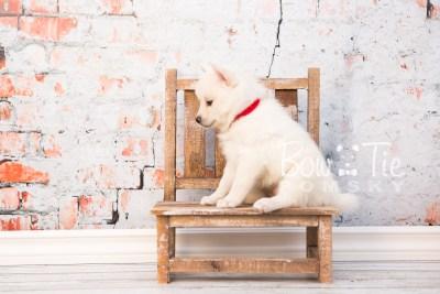 puppy30-week6-bowtiepomsky-com-bowtie-pomsky-puppy-for-sale-husky-pomeranian-mini-dog-spokane-wa-breeder-blue-eyes-pomskies-photo_fb-47