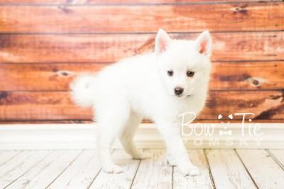 puppy30-week8-bowtiepomsky-com-bowtie-pomsky-puppy-for-sale-husky-pomeranian-mini-dog-spokane-wa-breeder-blue-eyes-pomskies-bowtie_pumsky_fb-0744
