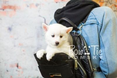 puppy30-week8-bowtiepomsky-com-bowtie-pomsky-puppy-for-sale-husky-pomeranian-mini-dog-spokane-wa-breeder-blue-eyes-pomskies-bowtie_pumsky_fb-0814