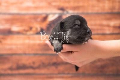 puppy31 week2 BowTiePomsky.com Bowtie Pomsky Puppy For Sale Husky Pomeranian Mini Dog Spokane WA Breeder Blue Eyes Pomskies photo-photo_fb-3