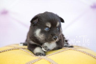 puppy31-week4-bowtiepomsky-com-bowtie-pomsky-puppy-for-sale-husky-pomeranian-mini-dog-spokane-wa-breeder-blue-eyes-pomskies-photo_fb-43
