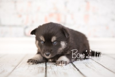 puppy31-week4-bowtiepomsky-com-bowtie-pomsky-puppy-for-sale-husky-pomeranian-mini-dog-spokane-wa-breeder-blue-eyes-pomskies-photo_fb-45