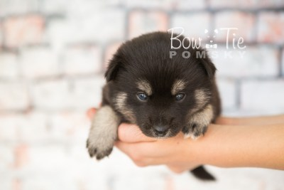 puppy31-week4-bowtiepomsky-com-bowtie-pomsky-puppy-for-sale-husky-pomeranian-mini-dog-spokane-wa-breeder-blue-eyes-pomskies-photo_fb-47