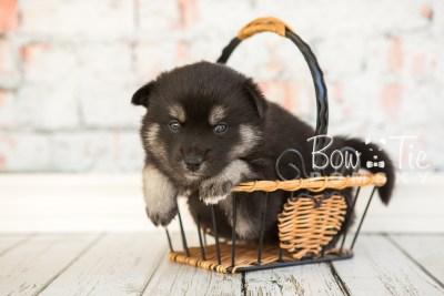 puppy31-week4-bowtiepomsky-com-bowtie-pomsky-puppy-for-sale-husky-pomeranian-mini-dog-spokane-wa-breeder-blue-eyes-pomskies-photo_fb-48