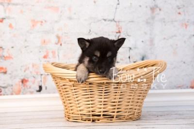 puppy31-week6-bowtiepomsky-com-bowtie-pomsky-puppy-for-sale-husky-pomeranian-mini-dog-spokane-wa-breeder-blue-eyes-pomskies-photo_fb-50