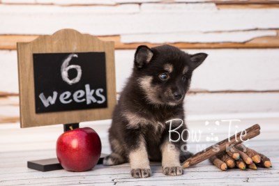 puppy31-week6-bowtiepomsky-com-bowtie-pomsky-puppy-for-sale-husky-pomeranian-mini-dog-spokane-wa-breeder-blue-eyes-pomskies-photo_fb-54