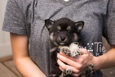 puppy31-week6-bowtiepomsky-com-bowtie-pomsky-puppy-for-sale-husky-pomeranian-mini-dog-spokane-wa-breeder-blue-eyes-pomskies-photo_fb-56