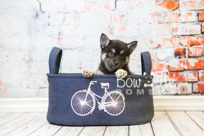 puppy31-week8-bowtiepomsky-com-bowtie-pomsky-puppy-for-sale-husky-pomeranian-mini-dog-spokane-wa-breeder-blue-eyes-pomskies-bowtie_pumsky_fb-0890