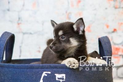 puppy31-week8-bowtiepomsky-com-bowtie-pomsky-puppy-for-sale-husky-pomeranian-mini-dog-spokane-wa-breeder-blue-eyes-pomskies-bowtie_pumsky_fb-0907