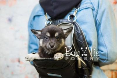 puppy31-week8-bowtiepomsky-com-bowtie-pomsky-puppy-for-sale-husky-pomeranian-mini-dog-spokane-wa-breeder-blue-eyes-pomskies-bowtie_pumsky_fb-0918