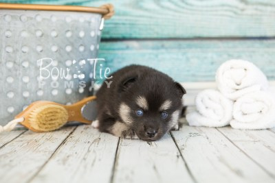 puppy32-week4-bowtiepomsky-com-bowtie-pomsky-puppy-for-sale-husky-pomeranian-mini-dog-spokane-wa-breeder-blue-eyes-pomskies-photo_fb-51