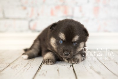 puppy32-week4-bowtiepomsky-com-bowtie-pomsky-puppy-for-sale-husky-pomeranian-mini-dog-spokane-wa-breeder-blue-eyes-pomskies-photo_fb-52