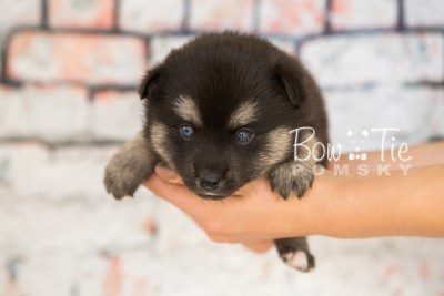 puppy32-week4-bowtiepomsky-com-bowtie-pomsky-puppy-for-sale-husky-pomeranian-mini-dog-spokane-wa-breeder-blue-eyes-pomskies-photo_fb-54