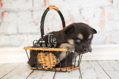 puppy32-week4-bowtiepomsky-com-bowtie-pomsky-puppy-for-sale-husky-pomeranian-mini-dog-spokane-wa-breeder-blue-eyes-pomskies-photo_fb-55