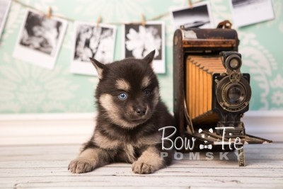 puppy32-week6-bowtiepomsky-com-bowtie-pomsky-puppy-for-sale-husky-pomeranian-mini-dog-spokane-wa-breeder-blue-eyes-pomskies-photo_fb-57