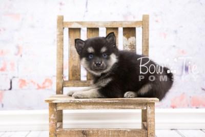 puppy32-week6-bowtiepomsky-com-bowtie-pomsky-puppy-for-sale-husky-pomeranian-mini-dog-spokane-wa-breeder-blue-eyes-pomskies-photo_fb-60