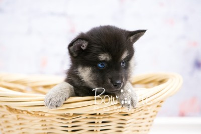puppy32-week6-bowtiepomsky-com-bowtie-pomsky-puppy-for-sale-husky-pomeranian-mini-dog-spokane-wa-breeder-blue-eyes-pomskies-photo_fb-62