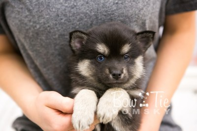 puppy32-week6-bowtiepomsky-com-bowtie-pomsky-puppy-for-sale-husky-pomeranian-mini-dog-spokane-wa-breeder-blue-eyes-pomskies-photo_fb-63