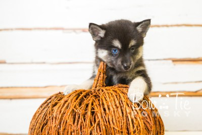 puppy32-week8-bowtiepomsky-com-bowtie-pomsky-puppy-for-sale-husky-pomeranian-mini-dog-spokane-wa-breeder-blue-eyes-pomskies-bowtie_pumsky_fb-0927