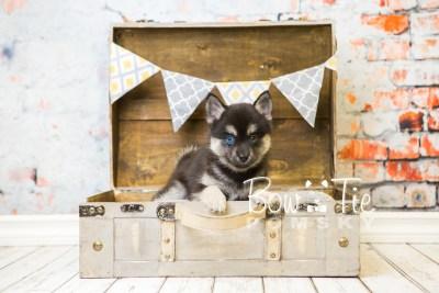 puppy32-week8-bowtiepomsky-com-bowtie-pomsky-puppy-for-sale-husky-pomeranian-mini-dog-spokane-wa-breeder-blue-eyes-pomskies-bowtie_pumsky_fb-0940
