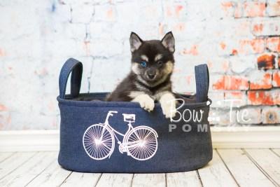 puppy32-week8-bowtiepomsky-com-bowtie-pomsky-puppy-for-sale-husky-pomeranian-mini-dog-spokane-wa-breeder-blue-eyes-pomskies-bowtie_pumsky_fb-0967
