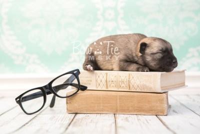 puppy33 week2 BowTiePomsky.com Bowtie Pomsky Puppy For Sale Husky Pomeranian Mini Dog Spokane WA Breeder Blue Eyes Pomskies photo-photo_fb-1