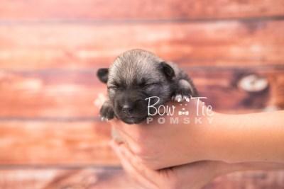 puppy33 week2 BowTiePomsky.com Bowtie Pomsky Puppy For Sale Husky Pomeranian Mini Dog Spokane WA Breeder Blue Eyes Pomskies photo-photo_fb-3