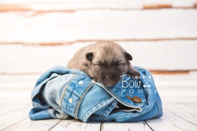 puppy33 week2 BowTiePomsky.com Bowtie Pomsky Puppy For Sale Husky Pomeranian Mini Dog Spokane WA Breeder Blue Eyes Pomskies photo-photo_fb-4