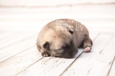 puppy33 week2 BowTiePomsky.com Bowtie Pomsky Puppy For Sale Husky Pomeranian Mini Dog Spokane WA Breeder Blue Eyes Pomskies photo-photo_fb-7