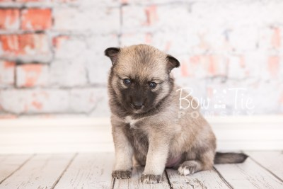 puppy33-week4-bowtiepomsky-com-bowtie-pomsky-puppy-for-sale-husky-pomeranian-mini-dog-spokane-wa-breeder-blue-eyes-pomskies-photo_fb-59