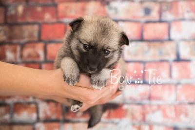 puppy33-week4-bowtiepomsky-com-bowtie-pomsky-puppy-for-sale-husky-pomeranian-mini-dog-spokane-wa-breeder-blue-eyes-pomskies-photo_fb-61