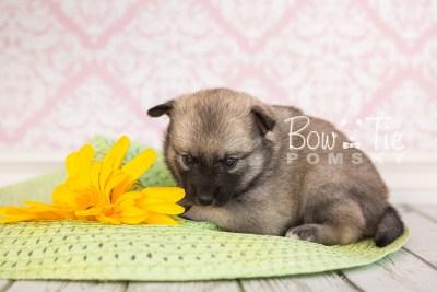 puppy33-week4-bowtiepomsky-com-bowtie-pomsky-puppy-for-sale-husky-pomeranian-mini-dog-spokane-wa-breeder-blue-eyes-pomskies-photo_fb-63