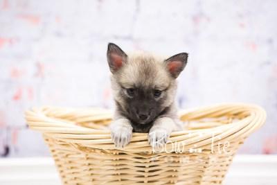 puppy33-week6-bowtiepomsky-com-bowtie-pomsky-puppy-for-sale-husky-pomeranian-mini-dog-spokane-wa-breeder-blue-eyes-pomskies-photo_fb-65