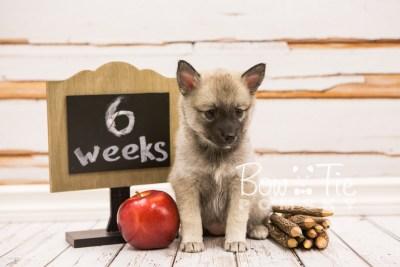 puppy33-week6-bowtiepomsky-com-bowtie-pomsky-puppy-for-sale-husky-pomeranian-mini-dog-spokane-wa-breeder-blue-eyes-pomskies-photo_fb-69