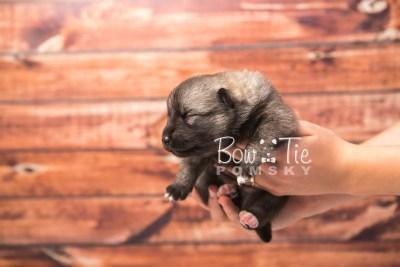 puppy34 week2 BowTiePomsky.com Bowtie Pomsky Puppy For Sale Husky Pomeranian Mini Dog Spokane WA Breeder Blue Eyes Pomskies photo-photo_fb-3