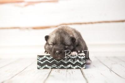 puppy34 week2 BowTiePomsky.com Bowtie Pomsky Puppy For Sale Husky Pomeranian Mini Dog Spokane WA Breeder Blue Eyes Pomskies photo-photo_fb-6